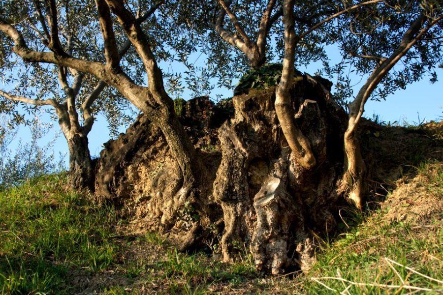 Legend of the olive tree - Portorož & Piran