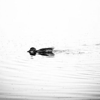 Sea duck...