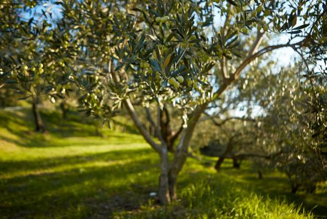 Istrian olive growers